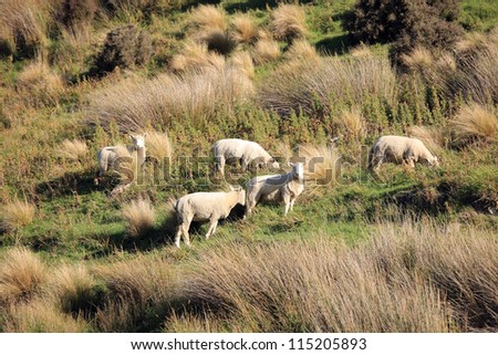 New Zealand Sheeps in The Pasture - stock photo