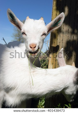 Newborn Animal Albino Goat Explores Foraging Eating Grass Flowers - stock photo