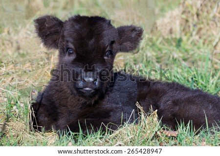 Newborn black scottish highlander calf lying in grass. The young cow is looking at the camera. It's march, early spring season. The cute and adorable farm animal enjoys the sunlight. - stock photo
