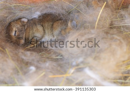 newborn bunny in the nest, feathers, wool, pets - stock photo