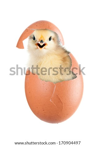 Newborn chick hatched from an egg. isolation - stock photo