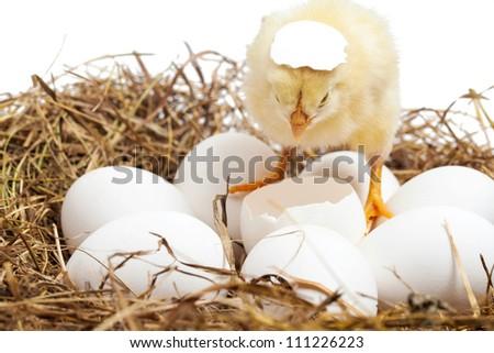 newborn chick in the nest - stock photo