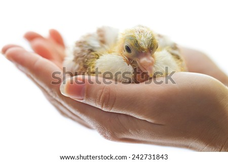 Newborn chicken in woman hands isolated on white - stock photo