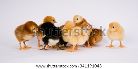 Newborn Chickens Stand with Siblings Together Just a Few Days Old - stock photo