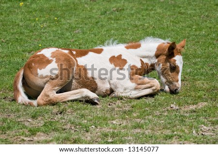 newborn colt laying down in local pasture - stock photo