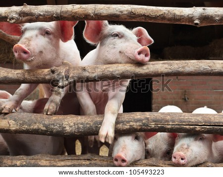 Newborn curious pigs in a stable climbing the wooden fence - stock photo