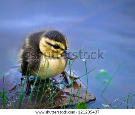 Newborn duckling - stock photo
