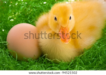newborn duckling in the nest - stock photo