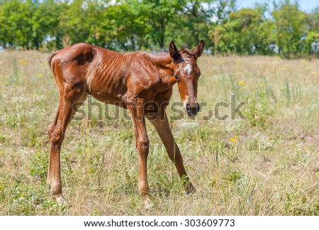 Newborn foal doing first steps on a summer pasture - stock photo