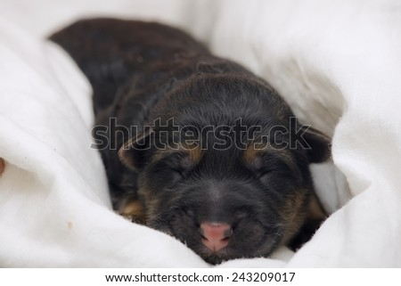 newborn German Shepherd sleeping, selective focus on colsed eyes  - stock photo