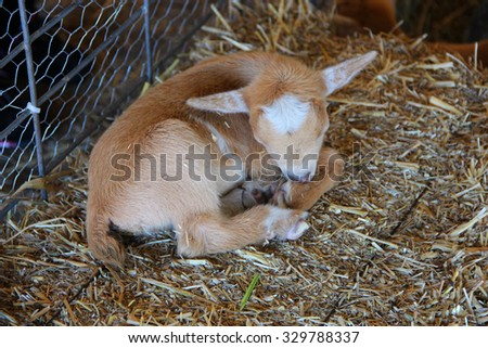 Newborn goat - stock photo