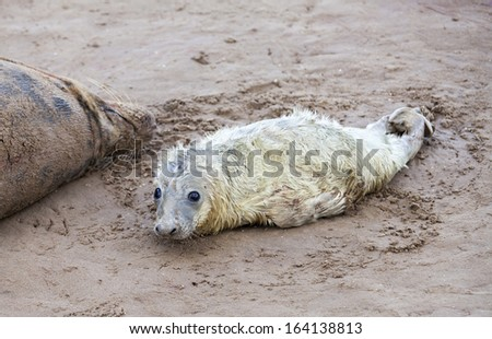 Newborn grey seal resting next to the mother on the beach, Donna Nook, UK - stock photo
