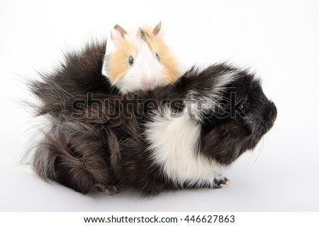 Newborn guinea pig baby and its mother (on the white background) - stock photo