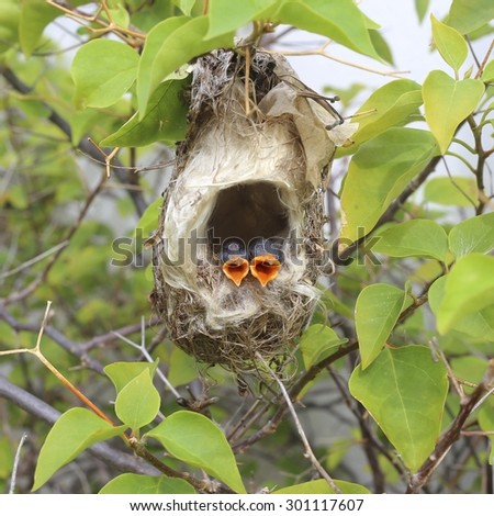 Newborn hungry baby birds in nest - stock photo