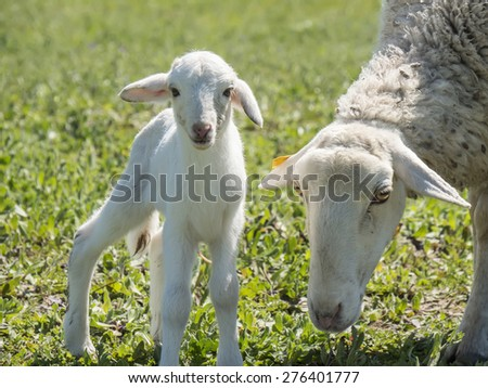 Newborn lamb with his mother in a meadow - stock photo