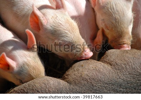Newborn piglets latched onto their mothers teat. - stock photo
