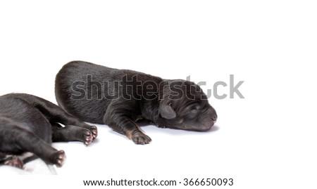 newborn puppy dog isolated on white - stock photo