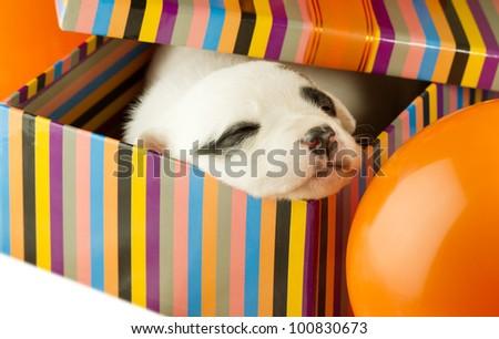 newborn puppy sleeping in a gift box - stock photo