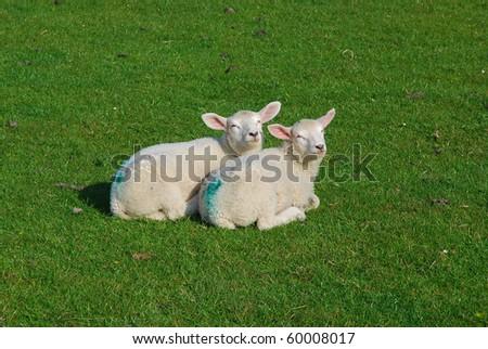 Newborn Sheep enjoying a sunny day - stock photo