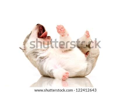 newborn Siberian Husky puppy, age of 14 days - stock photo