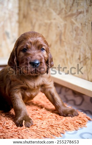 newborn small puppy of  irish setter - stock photo