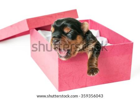 Newborn yorkshire puppy in box - stock photo