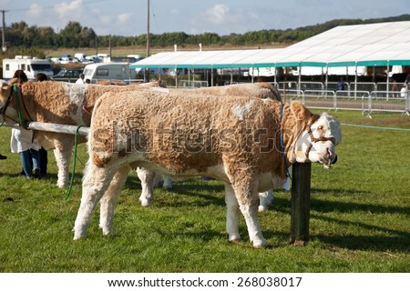 NEWBURY, UK - SEPTEMBER 21: Livestock waiting to be paraded before the judges relax by scratching against a post before entering the show ring at the Berks show on September 21, 2014 in Newbury - stock photo