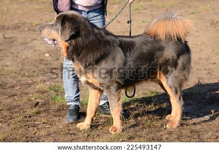 Newfoundland dog in the garden - stock photo