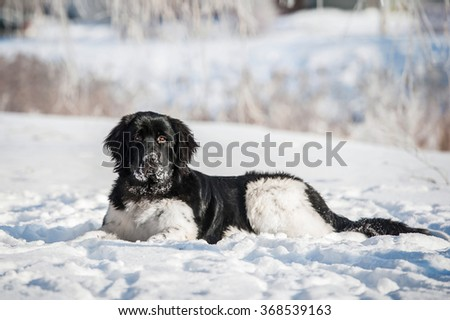 Newfoundland dog lying on the snow in winter - stock photo