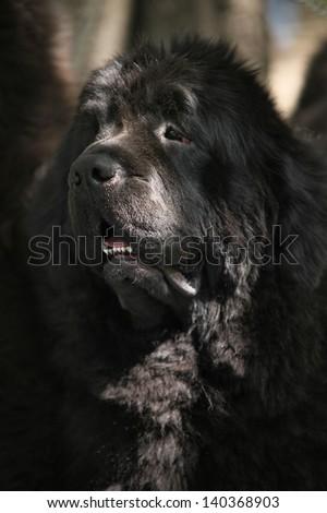 Newfoundland dog puppy portrait - stock photo