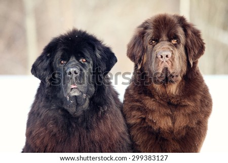 Newfoundland dog sitting and looking at the camera in winter - stock photo
