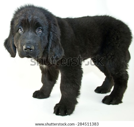 Newfoundland puppy the looks sad or is giving her best puppy eyes to get something, on a white background. - stock photo