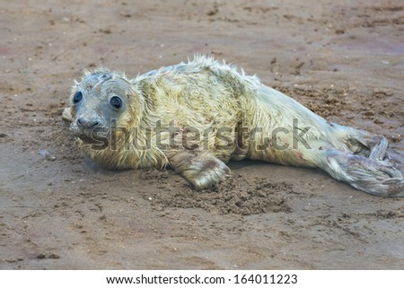Newly born grey seal pup (Halichoerus grypus) on the beach - stock photo