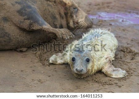 Newly born grey seal pup (Halichoerus grypus) on the beach with it's mother in the background - stock photo