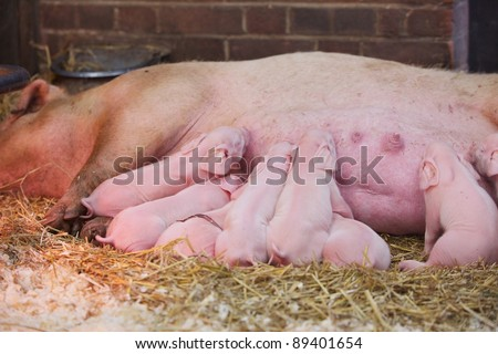 Newly born piglets suckling on their mother - stock photo