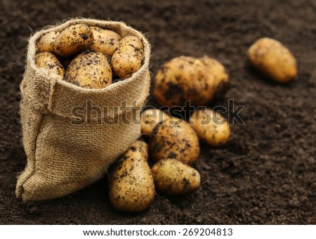 Newly harvested potatoes with jute bag - stock photo