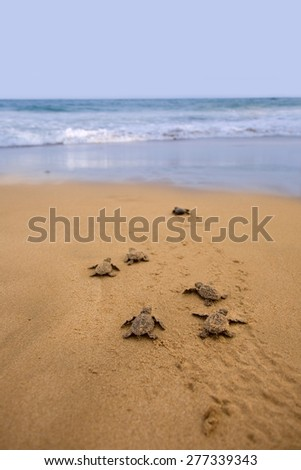 Newly hatched baby Loggerhead  turtle toward the ocean  - stock photo