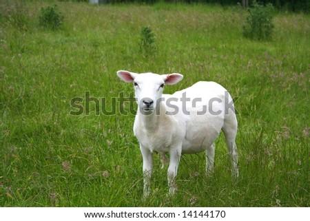 Newly Shorn Sheep - stock photo