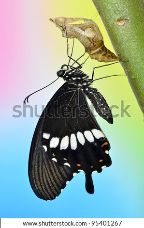 newly transformed butterfly (Common Mormon) - stock photo