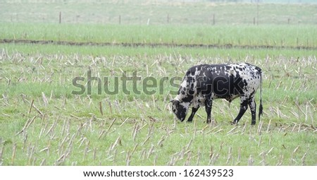 Nguni Bull grazes in a fild of maize stubble, Himeville, kwazulu Natal, South Africa. Nguni are an ancient breed of African cattle much admired for their uniquely coloured hides and hardy natures. - stock photo