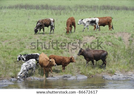 Nguni cattle,an indigenous african breed favoured for the variously patterned hides  and hardy nature, drinking from the Umzimkulu river - stock photo