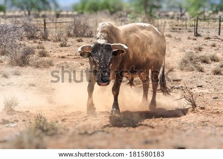 nguni stud bull a traditional breed of cattle for the african stock farmers - stock photo