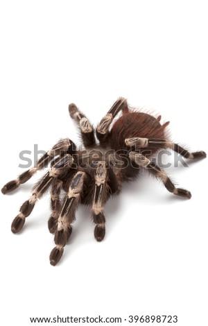 Nhandu chromatus or Brazilian red and white tarantula, close up isolated on white background  - stock photo