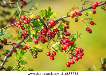 Nice abstract hawthorn twig with red berry - stock photo