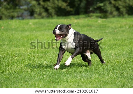 Nice american staffordshire terrier running through a meadow - stock photo