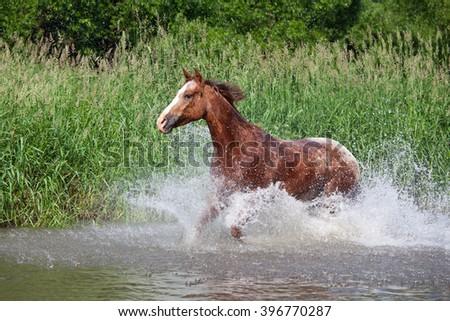 Nice appaloosa horse running - stock photo