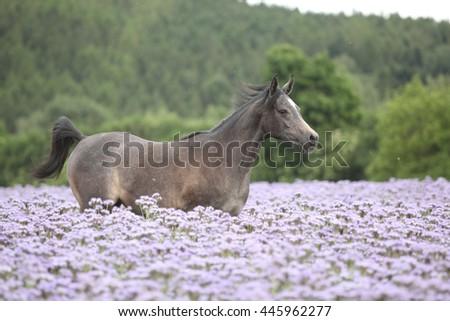 Nice arabian horse running in fiddleneck field alone - stock photo