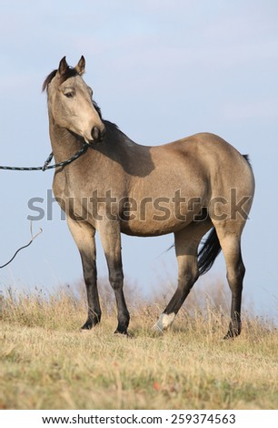 Nice bay quarter horse standing in nature alone - stock photo