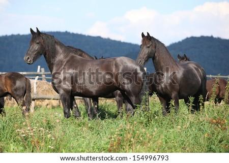 Nice black horses on green pasturage in autumn - stock photo