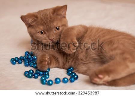 nice British cat and blue beads - stock photo